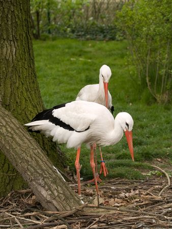 clinging: Couple of stork. Photo have been shot in the Berlin zoo
