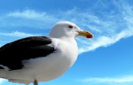 larus: View of Great Black-beacked Gull (Larus marinus)
