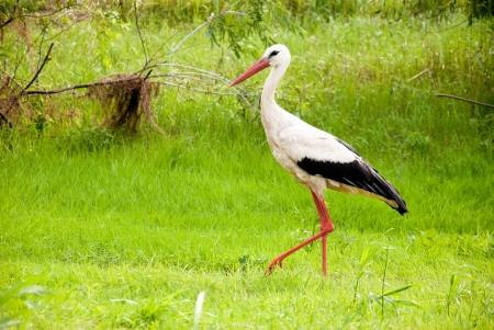 Stork walking in a summer forest photo