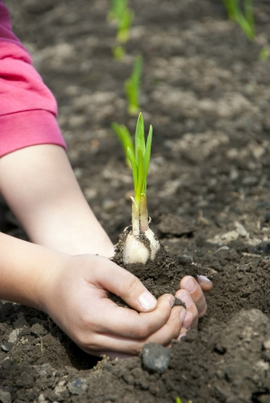 Sprouts with land in the hands of a child photo