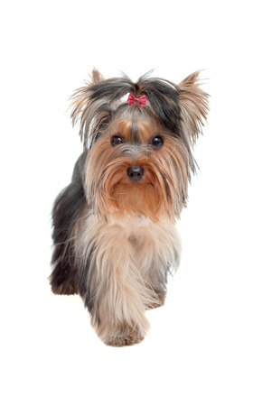 silky terrier: Small Yorkshire Terrier puppy - best friend Stock Photo
