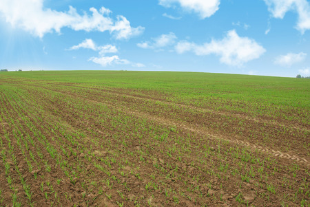 filming point of view: Field with winter crops in the spring against the sky