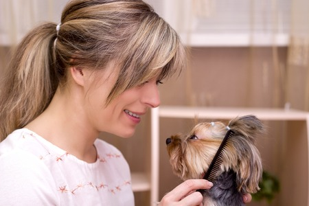 yorky: Dog grooming. Combing beard of Yorkshire Terrier.
