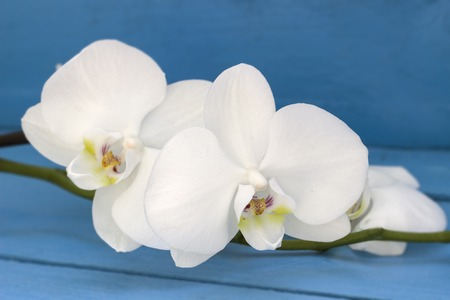 blue orchid: White orchid flower on the blue wooden background