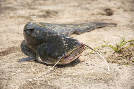 catfish: Caught catfish on the sand in summer.