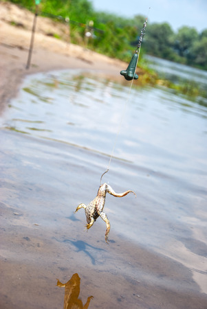 Fishing. Bait for cat-fish - frog on hook on the river.
