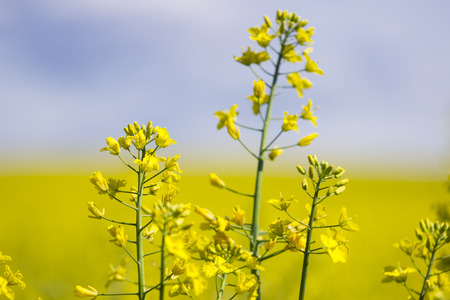 Rapeseed (Brassica napus), also known as rape, oilseed rape, rapa, rappi, rapaseed. Field of bright yellow rapeseed in summer