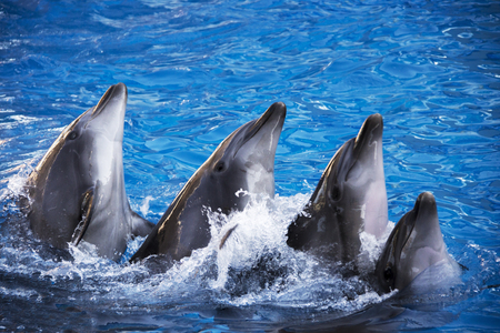 Group of five dolphins in blue turquoise water