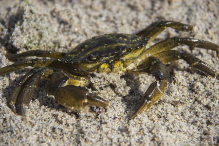 Sand Crab on the Beach Closeup in the summer