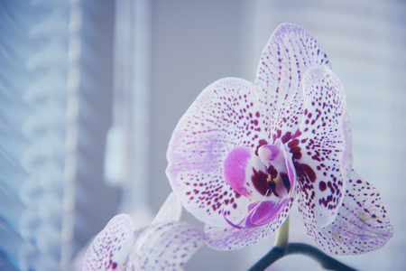 Flower of orchid against a window with venetian blinds. Macro image with shallow depth of focus