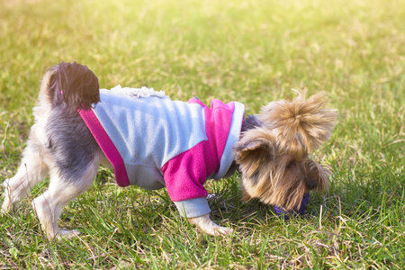 Cute small yorkshire terrier on a green lawn outdoor, no people. Banco de Imagens