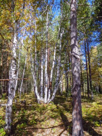 grew: Amazing seven birch trees grew from the same root