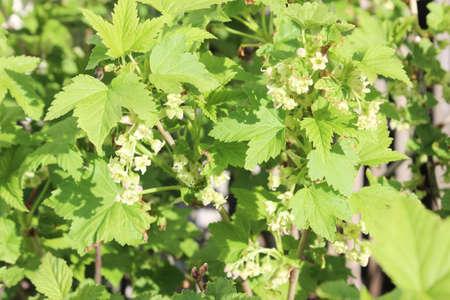currant: currant bush
