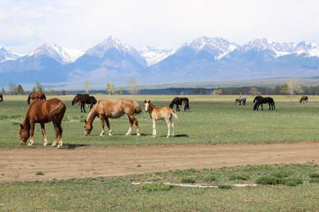vertex: Horses near mountains Stock Photo