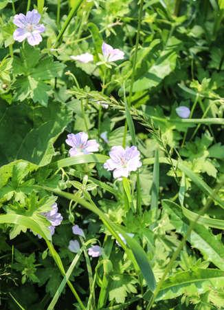 geranium color: Flowers of a meadow geranium