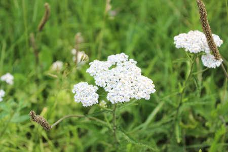 yarrow: White flowers of a yarrow