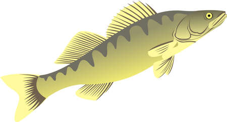 The big pike perch Vector