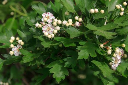White flower of midland hawthorn