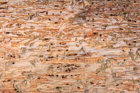 wood texture bark beetle Stock Photo