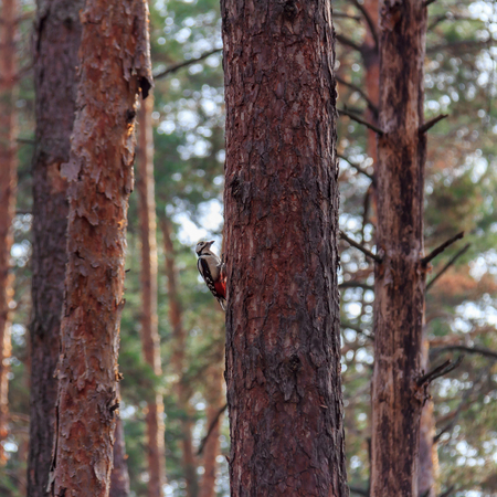 Woodpecker on a pine tree in the forest Stockfoto