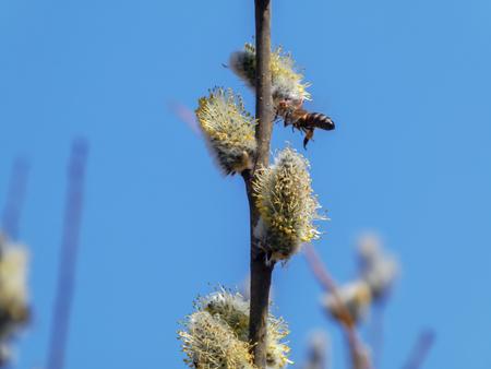 Young branch of a blossoming willow with a flying bee