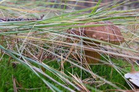 Brown mushroom, pansky mushroom and flywheel of chestnut. Stock Photo