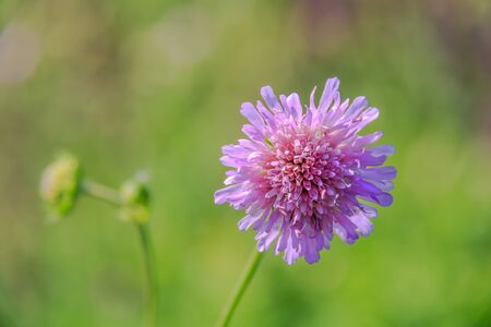 Knautia arvensis. Scabiosa. Flower pin cushion. Pink flower close up and green bokeh behind. Selective focus, shallow DOF.