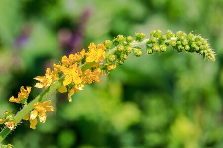 Agrimony. Yellow little flowers in spikelet close-up. Standard-Bild