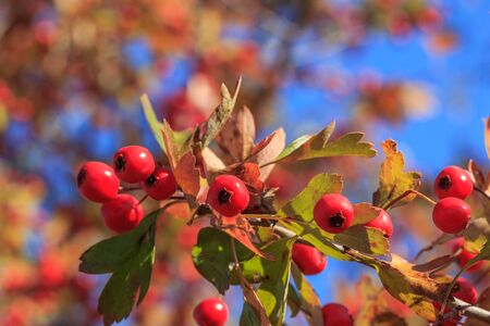 Hawthorn branch with bokeh in the background. Red autumnal wild fruits. Beautiful hawthorn berries with vivid colors.