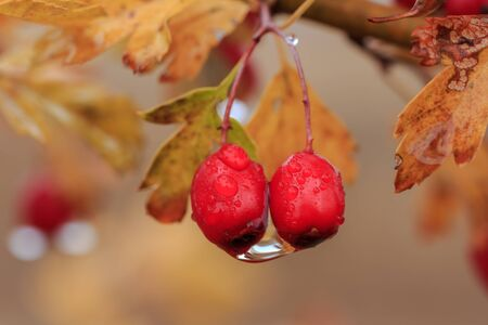 red hawthorn fruit with drops of water after autumn rain Stock fotó