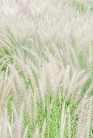windy: White mexican grass field in the windy. Stock Photo