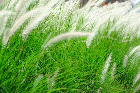 windy: White mexican grass field in the windy. Editorial