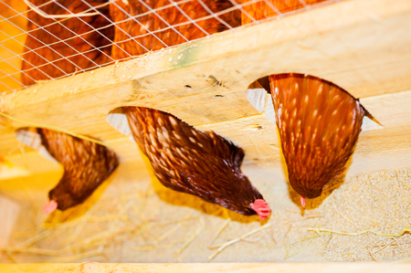 Chicken pecking food in cage.