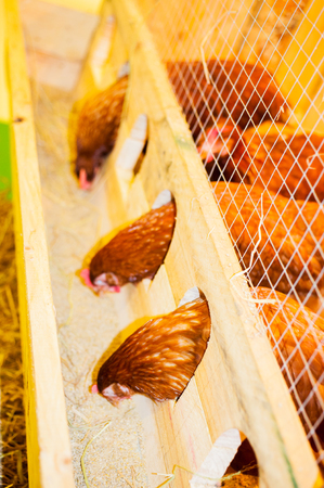 synchronously: Chicken pecking food in cage.