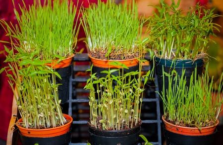 seeding: Organic vegetable is seeding.