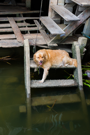 somnolent: Dog relax on the ladder near the river while hot day in the summer.