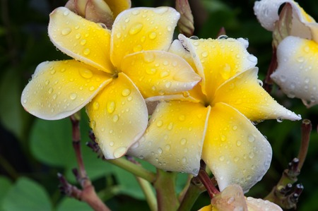 glitzy: Colorful flower with drop water while raining.