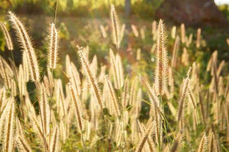 Grass flower in sunset                 Stock Photo