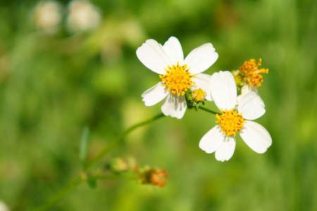white Grass flower
