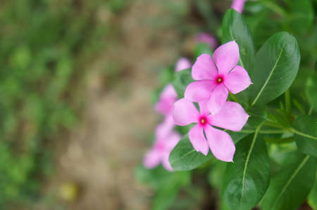 pink cape-periwinkle