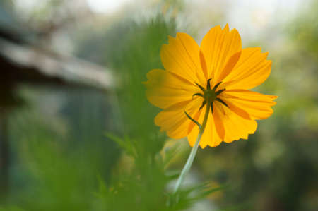 yellow cosmos on back