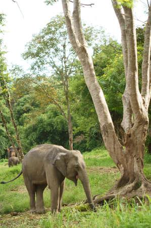 Asia elephant in Thailand