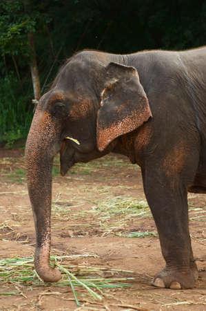 head Thai Elephants, eating grass