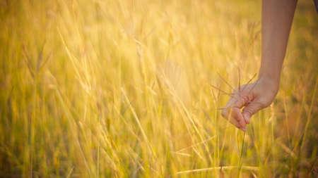 hand held gold grass