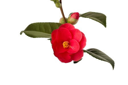 Camelia on white background Stock Photo - 18305221