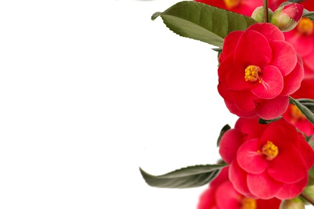 Camelia collage on the right with white background Stock Photo - 18305224