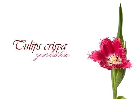 Pink fringed tulip (crispa) on the right on white background Stock Photo - 18363612