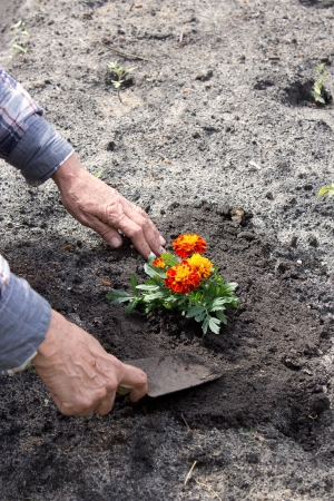 Old woman planting a flower in her garden