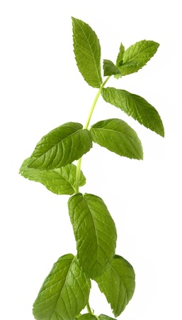 Isolated fresh mint branch Stock Photo - 19927233