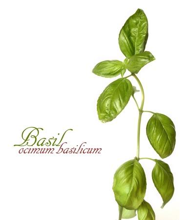 One twig of basil osilated on white background